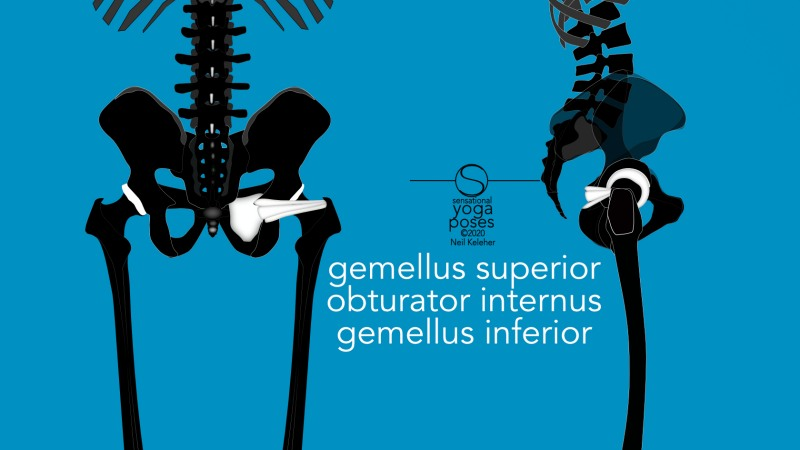 Gemellus superior, obturator internus and gemellus inferior, front and side view. Neil Keleher, Sensational Yoga Poses.