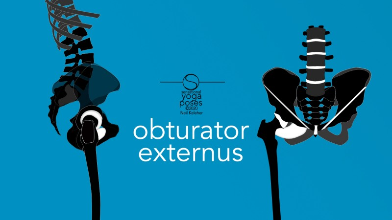 Obturator externus, front and side view. Neil Keleher, Sensational Yoga Poses.