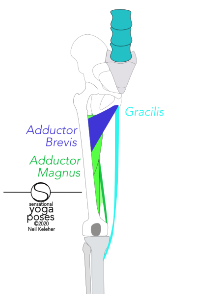 adductor brevis runs from the front of the hip bone just below the pubic bone to the top of the back of the femur. Gracilis attaches to the hip bone just below the adductor brevis. It runs to the top of the tibia's inner surface, just below the knee joint. Adductor magnus attaches to a long line along the bottom of the hip bone starting behind the adductor brevis. It attaches to most of the length of the back of the femur. Neil Keleher, Sensational Yoga Poses.