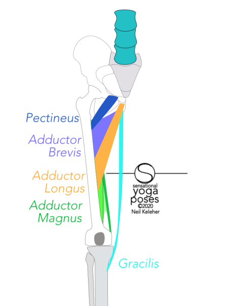 Pectineus attaches to the front rim of the hip bone, to the side of the pubic bone. Adductor longus attaches to the hip bone just below the pubic synthesis. Adductor brevis attaches to the hip bone just behind the adductor longus. Gracilis attaches to the hip bone below the adductor longus. Pectineus attaches high up to the back of the femur. Adductor brevis attaches to the back of the femur to the outside of the pectineus and has a longer line of attachment. Adductor longus attaches to the femur below adductor brevis. Adductor mangus attaches to a long length of the outside of the bottom of the hip bone and to most of the length of the back of the femur. Neil Keleher, Sensational Yoga Poses.