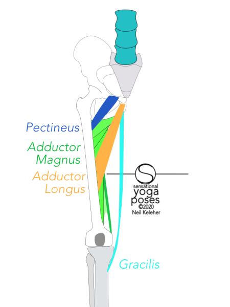 Pectineus runs from the front rim of the hip bone just to the side of the pubic synthesis to the line that joins the lesser trochanter to the linea aspera. Adductor longus runs from the front of the hip bone, below the pubic synthesis to the middle of the back of the femur. Gracilis attaches to the front of the hip bone below the adductor longus and attaches to the inside of the top of the tibia just below the bump of the knee joint.  Adductor magnus attaches to the hip bone along a long line which starts behind the adductor longus. It connects to the back of the femur. Neil Keleher, Sensational Yoga Poses.