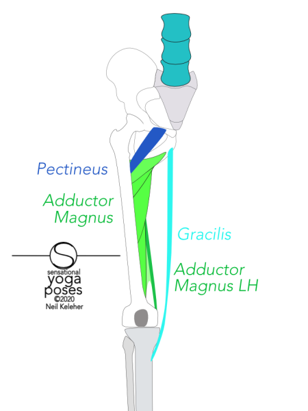 Pectineus runs from the front rim of the pelvis to the back of the femur, adductor magnus runs from the bottom rocker of the hip bone to most of the length of the back of the femur. Gracilis runs from below the pubic bone to the top of the inside of the tibia. Neil Keleher, Sensational Yoga Poses.