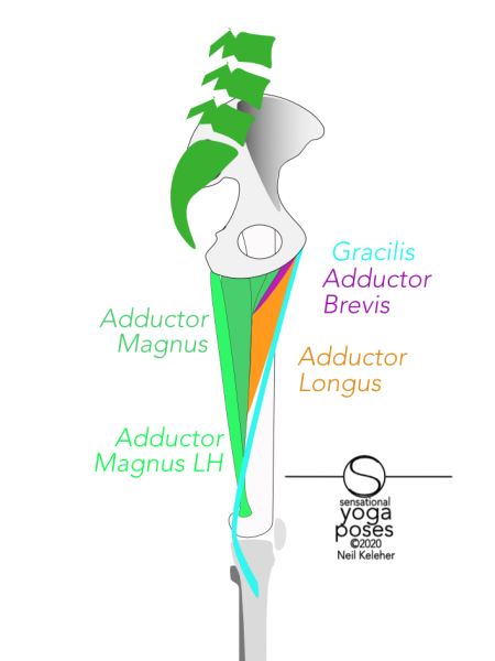 medial view of inner thigh showing adductor magnus,  adductor longus, adductor brevis, semitendinosus, gracilis, sartorius. Neil Keleher, Sensational Yoga Poses.