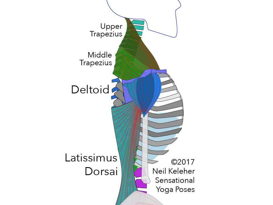 Anatomy for yoga teachers, latissimus dorsai, upper and middle traps, deltoids. Neil Keleher, Sensational yoga poses.