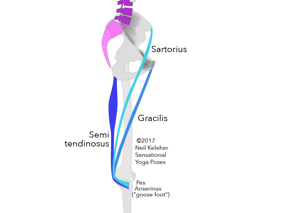 Inside view of leg showing Sartorius, Gracilis and Semitendinosus (a hamstring muscle) all blending into the Pes Anserinus (Goose Foot) to attach to the Tibia. At the hip bone, sartorius is shown attaching to the ASIC, Gracilis to the arear near the pubic bone and Semitendinosus to the Ischial Tuberosity.    Neil Keleher. Sensational Yoga Poses.