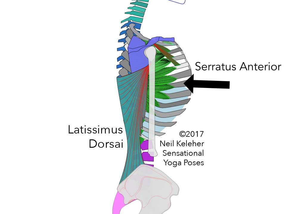 Serratus anterior side view along with latissimus dorsai. Neil Keleher. Sensational Yoga Poses.