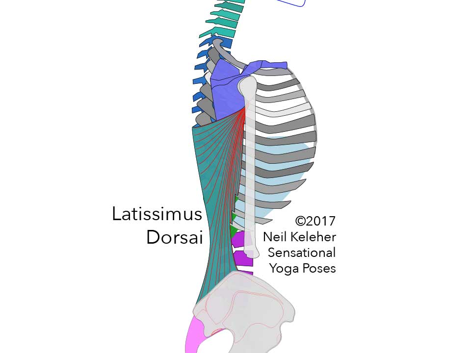 Latissimus dorsai side view, show attaching to the humerus and from there to the lower three ribs, iliac crest and the spinous processes of the spine up to the middle thoracic vertebrae.