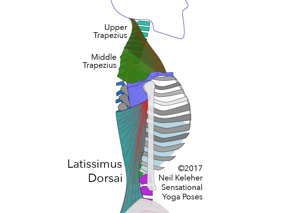 Anatomy for yoga teachers, latissimus dorsai, upper trapezius and middle trapezius. Neil Keleher, sensational yoga poses.