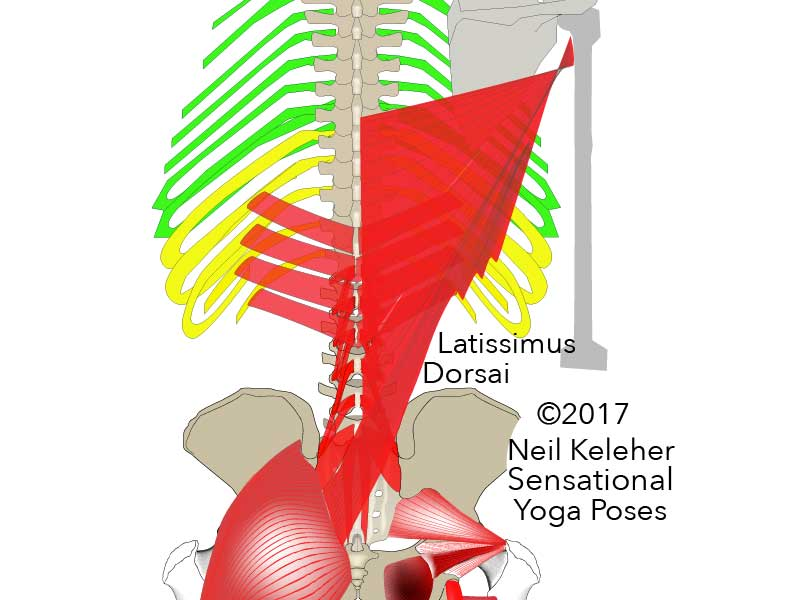 Lower back muscles: some fibers of the latissimus dorsai cross the midline at about the level of the sacrum or just above it to blend with fibers of the opposite side gluteus maximus. Neil Keleher, Sensational Yoga Poses.