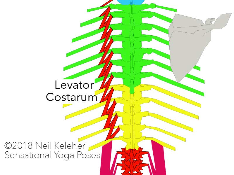 levator costarum run from each thoracic vertebrae to the rib one or two levels below.   Neil Keleher. Sensational Yoga Poses.