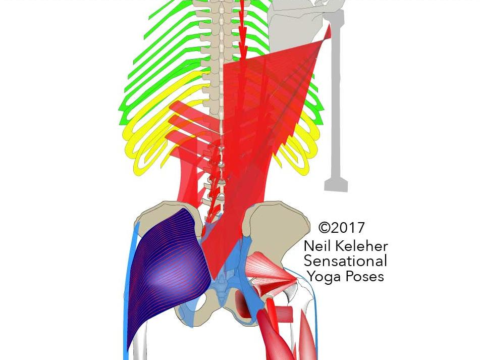 View of the Lower back showing the multifidus, sacrotuberous ligament, hamstrings, gracilis, adductor magnus, IT band.  Neil Keleher, Sensational Yoga Poses.