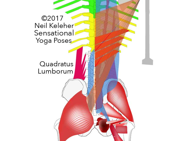 quadratus lumborum Neil Keleher. Sensational Yoga Poses.