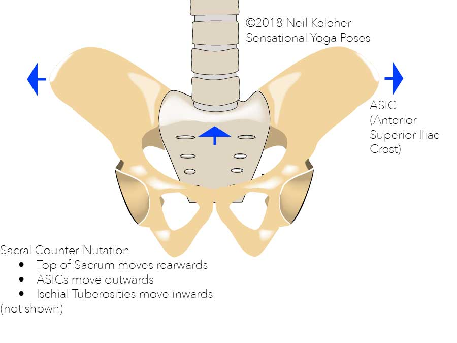 Sacral counter-nutation, the sacrum nods backwards relative to the hip bones causing the ASICS to move outwards and (not shown, the tailbone to move forwards and the ischial tuberosities to move inwards.) Neil Keleher. Sensational Yoga Poses.