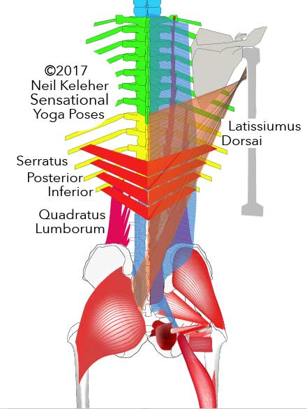Serratus Posterior Inferior, viewed from the back along with quadratus lumborum and latissimus dorsai. Neil Keleher. Sensational Yoga Poses.
