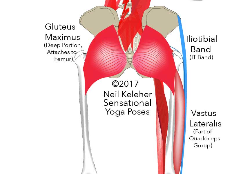 Anatomy of the thigh, rear view, showing the attachment of the deep portion of the gluteus maximus to the back of the femur and vastus lateralis attach to the femur just below it. Neil Keleher. Sensational Yoga Poses.