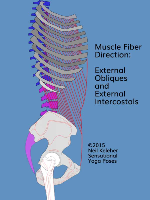 Side view torso and ribcage showing external obliques and external intercostals as well as their fiber angle, forwards and downwards.  Neil Keleher. Sensational Yoga Poses.