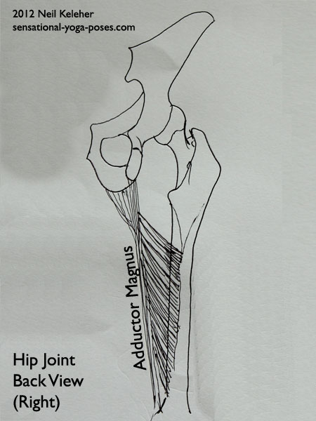 single joint muscles of the hip, adductor magus, front view
