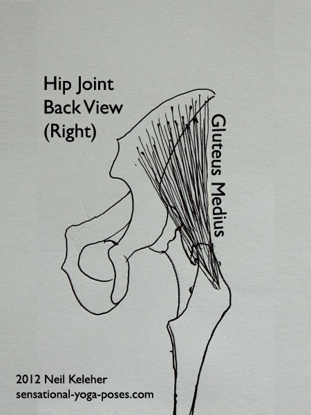 single joint muscles of the hip, gluteus medius, back view