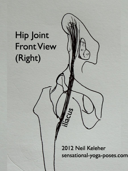 single joint muscles of the hip, iliacus, front view