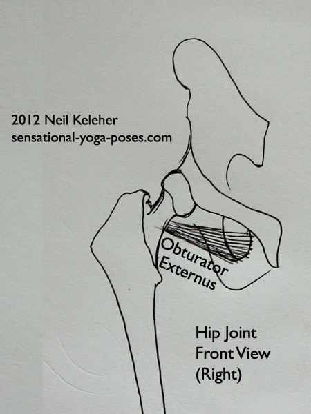 muscles of the hip, obturator externus, front view