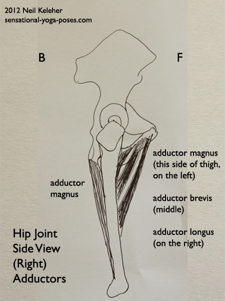 single joint muscles of the hip, adductor magnus