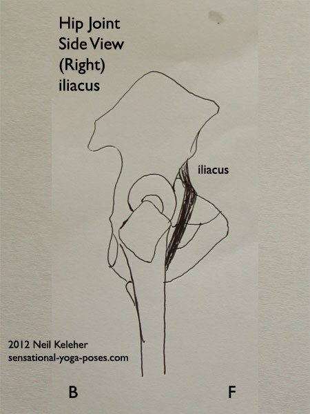 single joint muscles of the hip, iliacus, side view