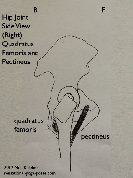 single joint hip flexors, single joint muscles of the hip, pectineus and quadratus femoris