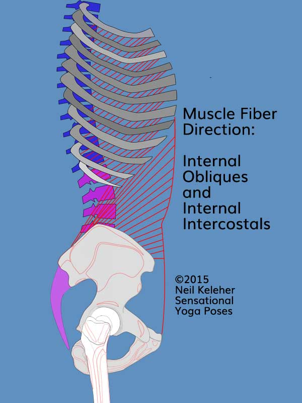 Side view torso and ribcage showing internal obliques and internal intercostals and their fiber angle, rearwards and downwards. Neil Keleher. Sensational Yoga Poses.